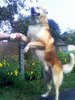 Foto 7 Sanfter, gro�er Traumhund abzugeben !