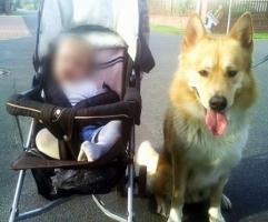 Foto 9 Sanfter, gro�er Traumhund abzugeben !
