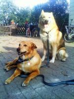 Foto 11 Sanfter, gro�er Traumhund abzugeben !