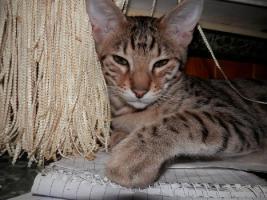 Foto 6 Savannah Katzenbabys F5 SBT