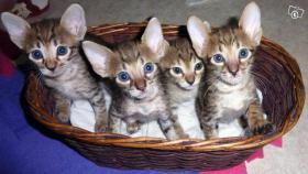 Savannah-Kitten F6 SBT zu verkaufen