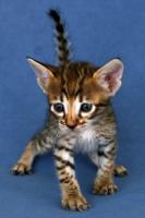Foto 2 Savannah-Kitten F6 SBT zu verkaufen