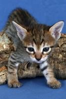 Foto 3 Savannah-Kitten F6 SBT zu verkaufen