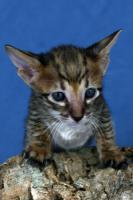 Foto 4 Savannah-Kitten F6 SBT zu verkaufen