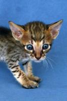 Foto 5 Savannah-Kitten F6 SBT zu verkaufen