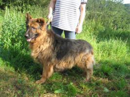 Foto 2 Sch�ferhund