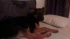 Schäferhund-Dobermann-Mischling 8 Monate