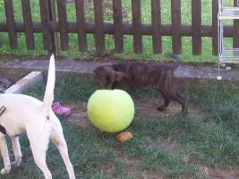 Schäferhund Labrador Ridgeback Mix 3 M alt sucht dringend