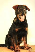 Foto 3 Sch�ferhund Mischlings Welpe zu vermitteln