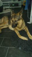 Schäferhund Mix 4 Jahre Dringend neues zuhause gesucht