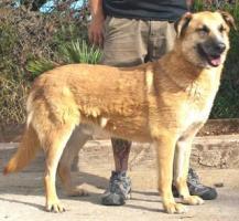 Foto 2 Schäferhund Mix DINO sucht ein Zuhause oder PS