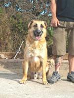 Foto 3 Schäferhund Mix DINO sucht ein Zuhause oder PS