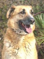 Foto 4 Schäferhund Mix DINO sucht ein Zuhause oder PS