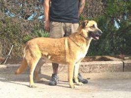 Foto 6 Schäferhund Mix DINO sucht ein Zuhause oder PS