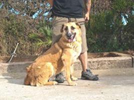 Foto 7 Schäferhund Mix DINO sucht ein Zuhause oder PS
