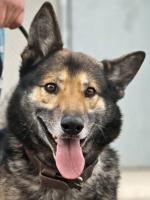 Schäferhund Mix MARTIN sucht ein Zuhause oder PS