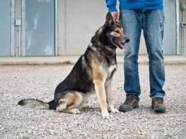 Foto 2 Schäferhund Mix MARTIN sucht ein Zuhause oder PS