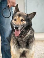 Foto 6 Schäferhund Mix MARTIN sucht ein Zuhause oder PS