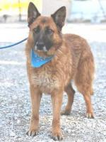 Schäferhund Mix OTTIN sucht ein Zuhause oder PS