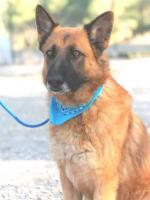 Foto 3 Schäferhund Mix OTTIN sucht ein Zuhause oder PS