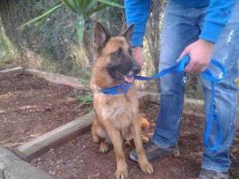 Foto 4 Schäferhund Mix OTTIN sucht ein Zuhause oder PS