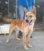 Foto 2 Schäferhund Mix TANGO sucht ein Zuhause oder PS