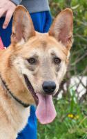 Foto 5 Schäferhund Mix TANGO sucht ein Zuhause oder PS