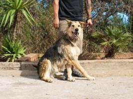 Foto 2 Schäferhund Mix TURKO sucht ein Zuhause oder PS