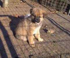 Sch�ferhund Mixwelpen