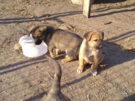 Foto 2 Sch�ferhund Mixwelpen