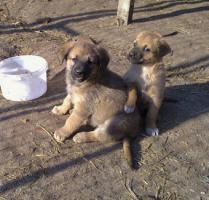 Foto 3 Sch�ferhund Mixwelpen