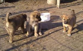 Foto 4 Sch�ferhund Mixwelpen