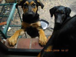 Foto 2 Schäferhund-Mixwelpen suchen liebevolles zu Hause