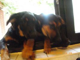 Foto 3 Schäferhund-Mixwelpen suchen liebevolles zu Hause