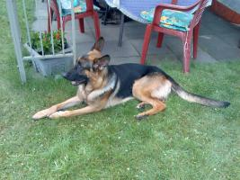 Foto 4 Schäferhund Rüde 24 Monate Jung aus Marl ( NRW )