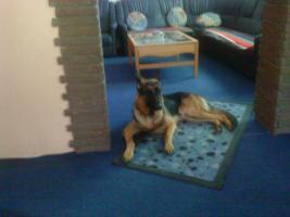 Foto 5 Schäferhund Rüde 24 Monate Jung aus Marl ( NRW )