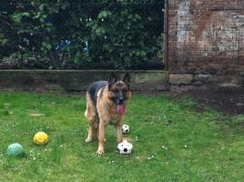 Schäferhund ''SAM'' sucht ein schönes Zuhause