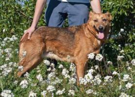Foto 4 Schäferhund TITA sucht ein Zuhause oder PS