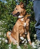 Foto 7 Schäferhund TITA sucht ein Zuhause oder PS