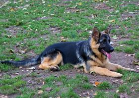 Schäferhund Welpe-Hündin 5 Monate