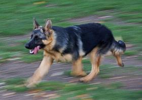 Foto 2 Schäferhund Welpe-Hündin 5 Monate