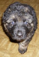 Foto 3 Schäferhund Welpen