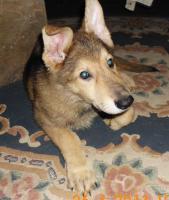 Schäferhund- Hundewelpen