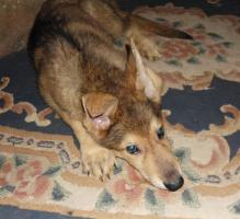Foto 2 Schäferhund- Hundewelpen