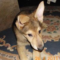 Foto 3 Sch�ferhund- Hundewelpen