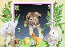 Foto 7 Sch�ferhund- Hundewelpen