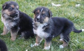 Foto 3 Schäferhundewelpen