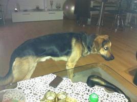Sch�ferhundmischling (Goldenretriever)