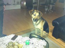 Foto 2 Sch�ferhundmischling (Goldenretriever)