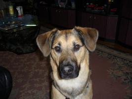 Foto 3 Sch�ferhundmischling (Goldenretriever)
